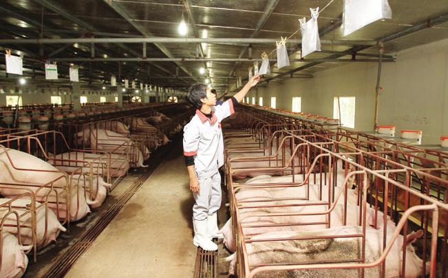Công nhân kiểm tra thẻ ghi nhật ký chăm sóc lợn nái tại HTX Hòa Mỹ.
