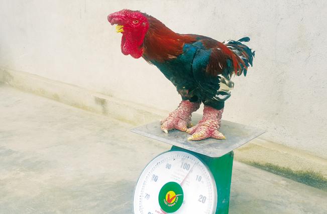 Gà nuôi bán Tết có trọng lượng từ 4kg trở lên và thời gian nuôi ít nhất là trên 8 tháng, ngoài ra còn có đôi chân khủng và bộ lông mượt.