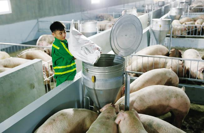 Công nhân chăm sóc đàn lợn tại trang trại chăn nuôi lợn tiêu chuẩn Global GAP tại tỉnh Nghệ An.