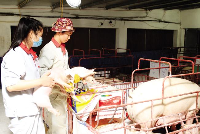 Công nhân kiểm tra sức khỏe đàn lợn giống tại HTX Hòa Mỹ.
