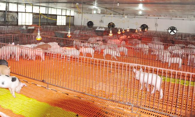 Chuồng nuôi úm lợn giống được xây dựng khang trang hiện đại.