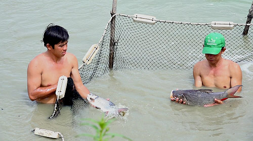 Bắt, lựa những con cá hô đạt kích cỡ để xuất bán cho thương lái.