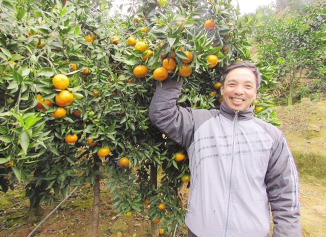 Niềm vui mùa cam bội thu của nông dân xã Tân Lang, huyện Phù Yên – Sơn La.