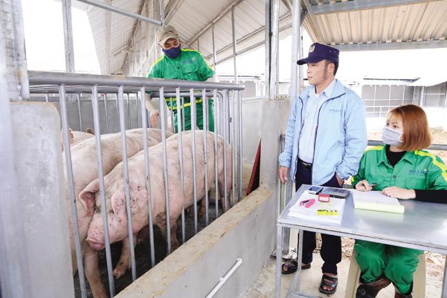 Cán bộ Masan kiểm tra chất lượng đàn lợn trước khi đưa đi giết mổ, chế biến.