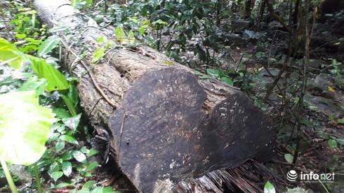 Hàng loạt cây gỗ lớn vùng lõi Khu bảo tồn Pù Luông bị chặt hạ để lấy... phong lan - Ảnh 7.