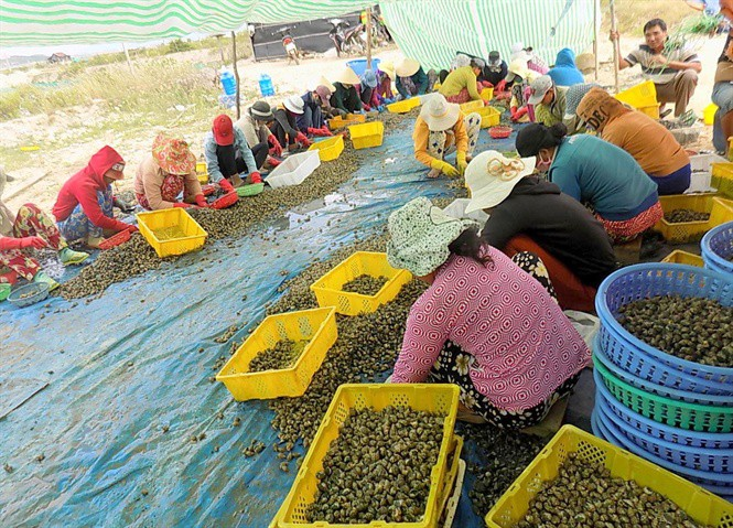 Trung Quốc ngừng mua, giá ốc hương giảm sâu suốt 6 tháng - Ảnh 1.