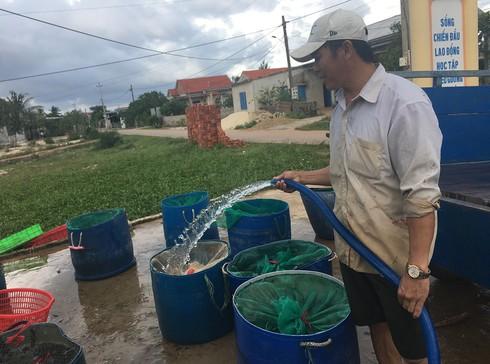 Anh Trần Kim Phi thu hoạch cá lóc và chuẩn bị đưa đi nhập cho thương lái.