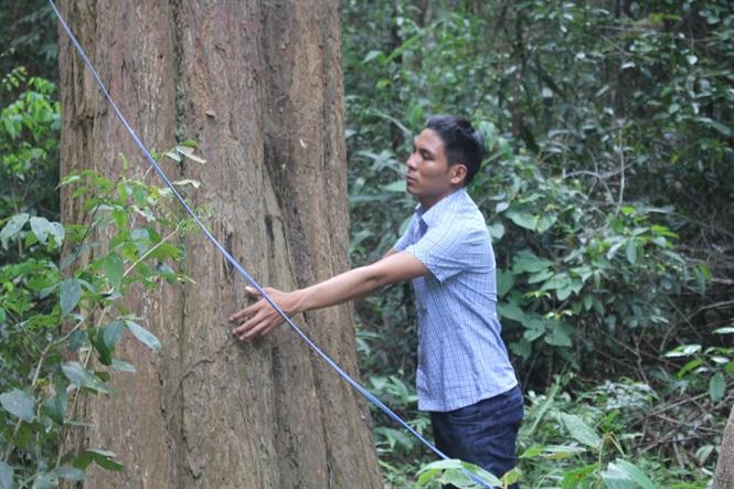 Những cây gỗ trắc có đường kính lớn bất khả xâm phạm.