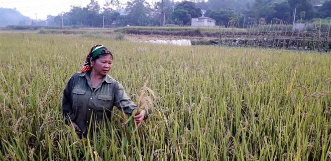 Trên cùng 1 mảnh ruộng cấy giống lúa J99 ở xã Thượng Ấm xuất hiện nhiều loại lúa khác nhau.