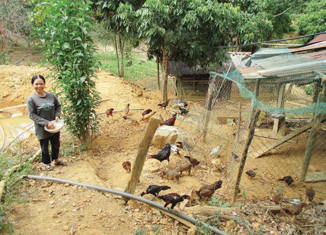 Ngoài trồng rừng, trồng sắn bà Hồ Thị Nhé còn chăn nuôi thêm heo rừng, bò, gà.