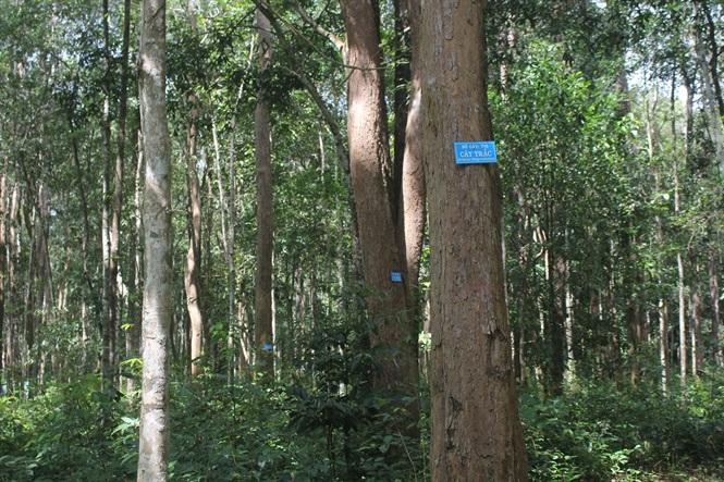 Rừng cây gỗ trắc được đánh dấu để dễ kiểm tra, chăm sóc, bảo vệ.