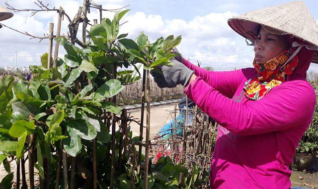 Phần lớn người trồng mai ở thị xã An Nhơn (tỉnh Bình Định) trong khu dân cư, trong khi cây mai thường xuyên phải dùng các loại thuốc bảo vệ thực vật.