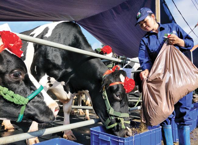 Nghề nuôi bò sữa mang lại thu nhập cao cho nông dân Mộc Châu (Sơn La). Trần Quang