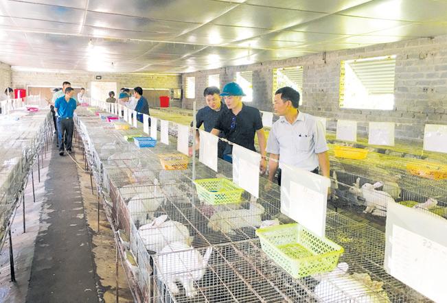 Nguồn vốn của Quỹ Hỗ trợ nông dân giúp nông dân xã Yên Đồng phát triển mô hình nuôi thỏ.