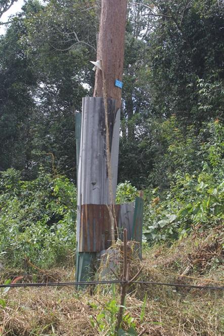 Những cây gỗ trắc được bọc tôn và thắp đèn bảo vệ.