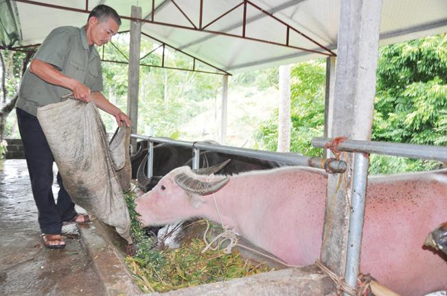 Nhờ được tiếp sức từ QHTND, nhiều nông dân ở các huyện của Tuyên Quang đã tự tin làm giàu từ nghề nuôi trâu vỗ béo.