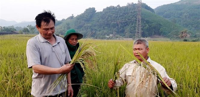 Nhiều hộ dân xã Thượng Ấm bức xúc khi giống lúa J99 không cho năng suất như tuyên truyền của cán bộ khuyến nông địa phương.
