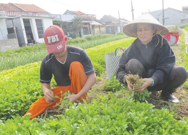 Phú Yên đã hình thành nhiều vùng sản xuất rau hiệu quả. Đức Tuấn