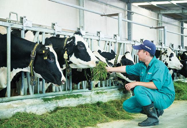 Ngành chăn nuôi bò sữa, chế biến sữa có sự tham gia của nhiều doanh nghiệp lớn. tư liệu
