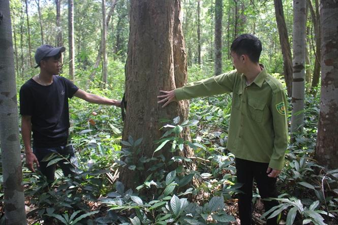 Những cây gỗ trắc đang được bảo vệ rất nghiêm ngặt.