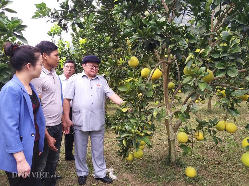 Chủ tịch Hội NDVN thăm vườn bưởi vạn cây, vạn quả ở Thái Nguyên - Ảnh 1.