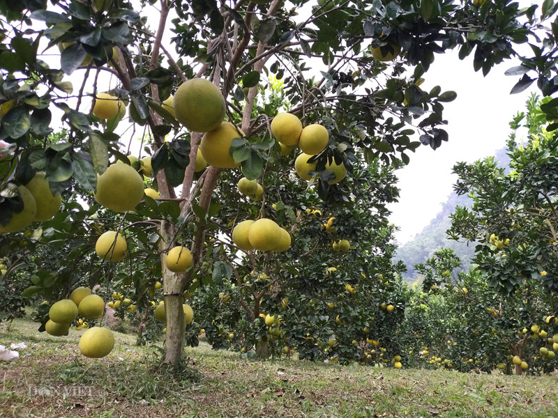 Chủ tịch Hội NDVN thăm vườn bưởi vạn cây, vạn quả ở Thái Nguyên - Ảnh 2.