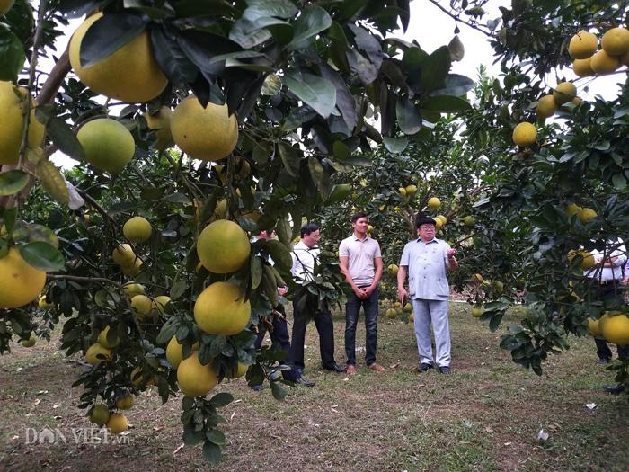 Chủ tịch Hội NDVN thăm vườn bưởi vạn cây, vạn quả ở Thái Nguyên - Ảnh 4.