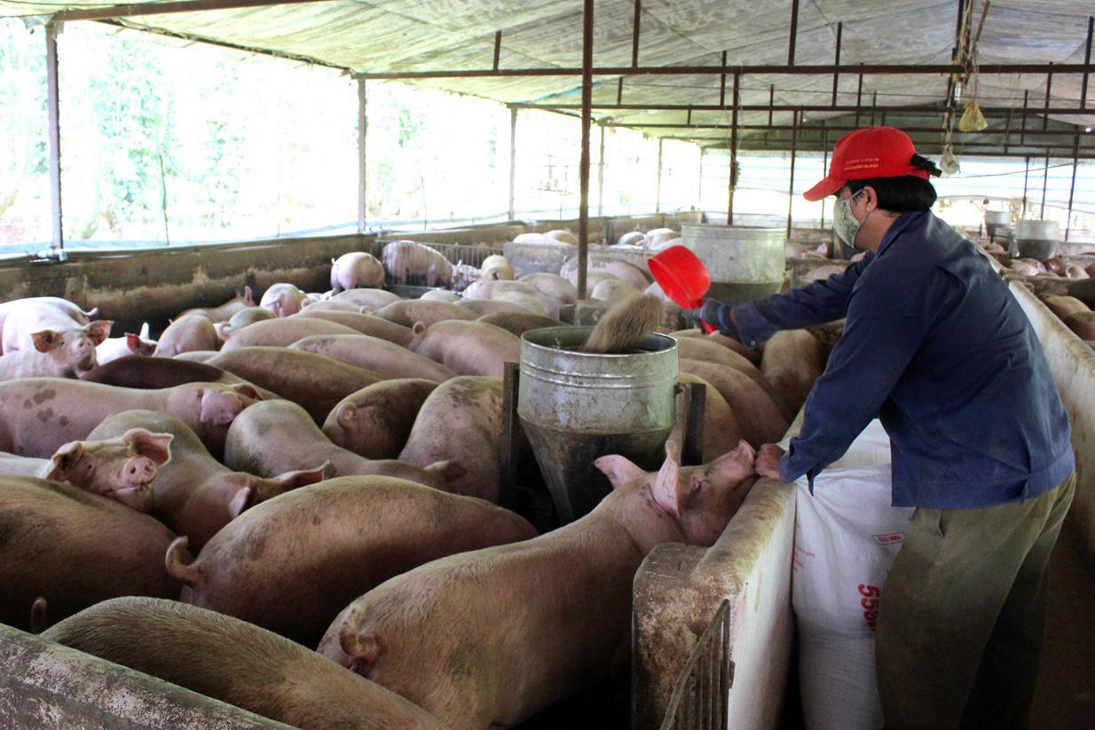 Giá heo hơi hôm nay 27/11: Thực hư giá thịt heo cao hơn thịt bò? - Ảnh 1.