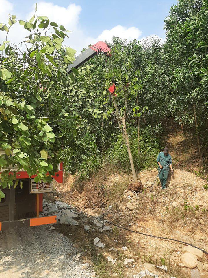 """Hàng cây hoa ban tiền tỉ """"vô chủ"""" trồng hai bên đường TP Cẩm Phả, chủ nhân là ai? - Ảnh 3."""