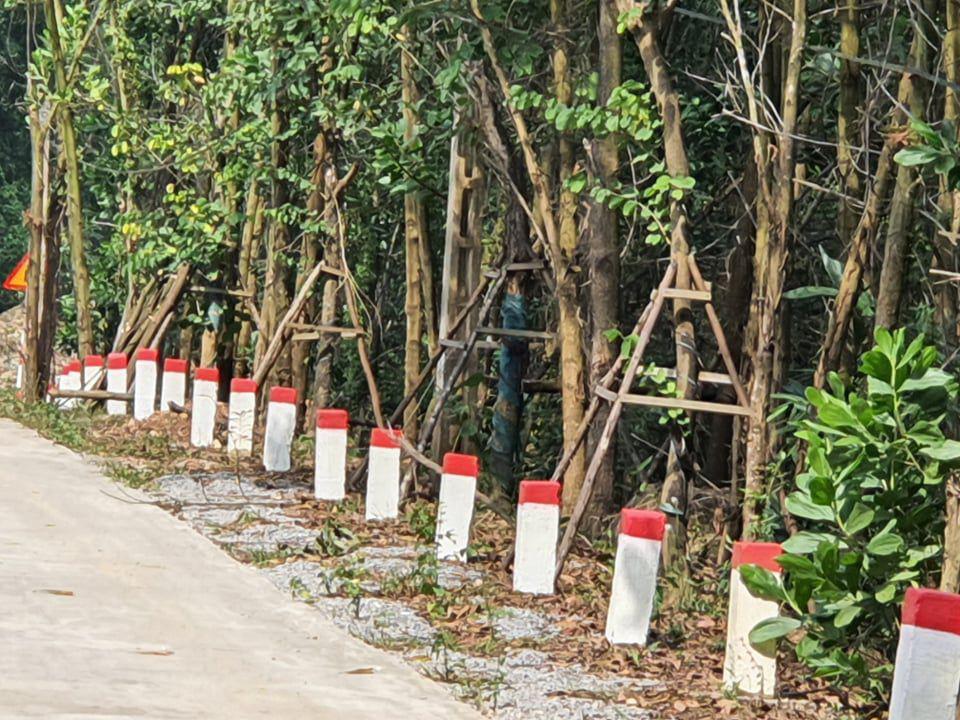 """Hàng cây hoa ban tiền tỉ """"vô chủ"""" trồng hai bên đường TP Cẩm Phả, chủ nhân là ai? - Ảnh 5."""