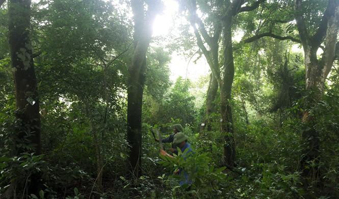 Để rừng lim trăm năm xanh mãi - Ảnh 2.