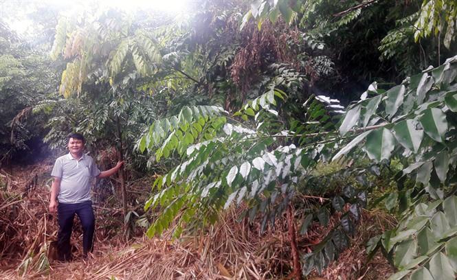 Để rừng lim trăm năm xanh mãi - Ảnh 3.
