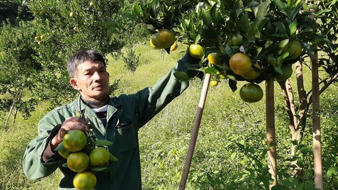 Một nông dân nhân thành công giống quýt ngọt bản địa quý hiếm - Ảnh 2.