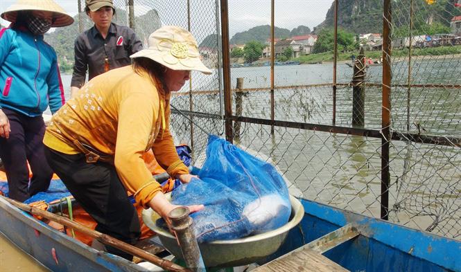 Đặc sản cá trắm nuôi lồng ở Phong Nha - Ảnh 2.