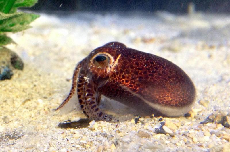 Phát hiện loài mực ống mới ở Okinawa, Nhật Bản - Ảnh 2.