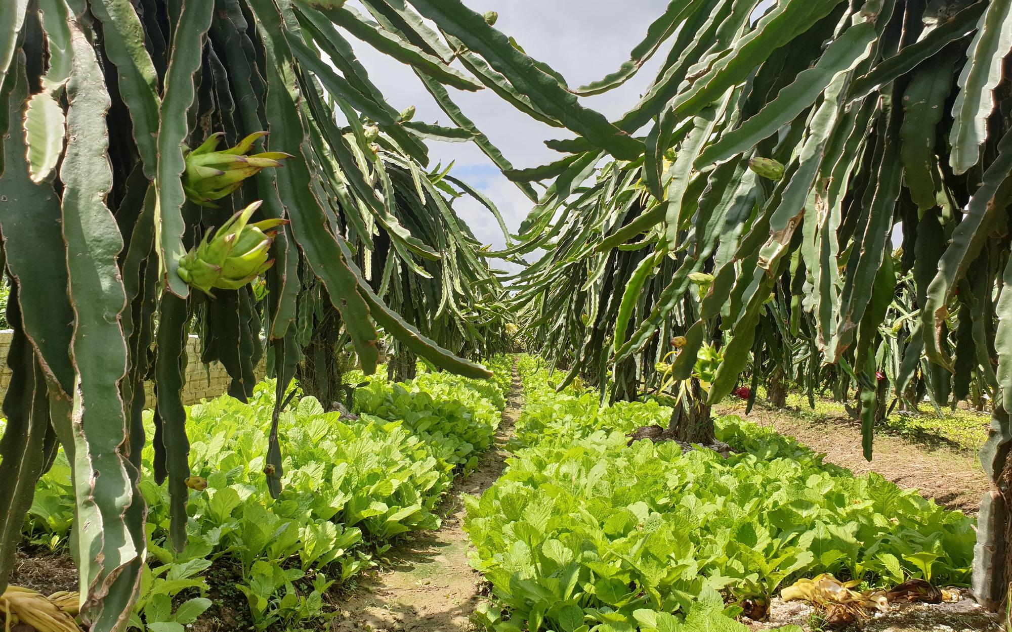 Hướng đi mới của đệ nhất trồng thanh long Điện Biên
