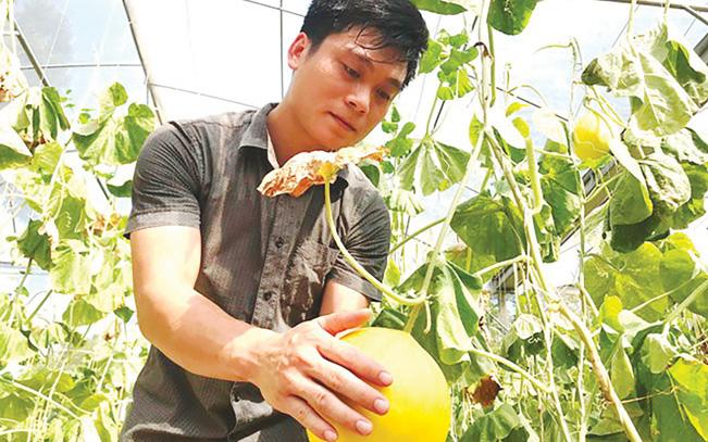Bác sỹ xứ Thanh trồng dưa vàng óng thu 200 triệu/năm