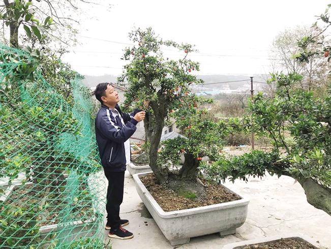 Ông Lê Minh bên các cây hồng đá quý hiếm có giá hàng trăm triệu đồng/cây tại nhà vườn của gia đình.