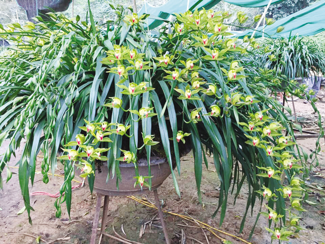 Các chậu địa lan trần mộng khoe sắc rực rỡ đón xuân tại nhà vườn của ông Minh.