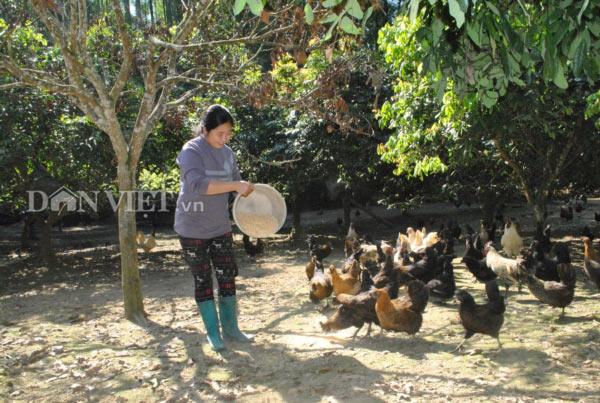 Trang trại gà Mông đen của gia đình chị Nguyễn Lan Anh ở thôn Nậm Châu, xã Tà Chải, huyện Bắc Hà. Ảnh: Nguyễn Quỳnh