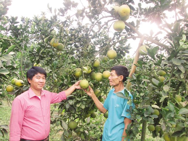 Từ nguồn vốn Quỹ HTND, nhiều nông ở xã Thắng Quân, huyện Yên Sơn, Tuyên Quang đã đầu tư trồng bưởi hiệu quả.