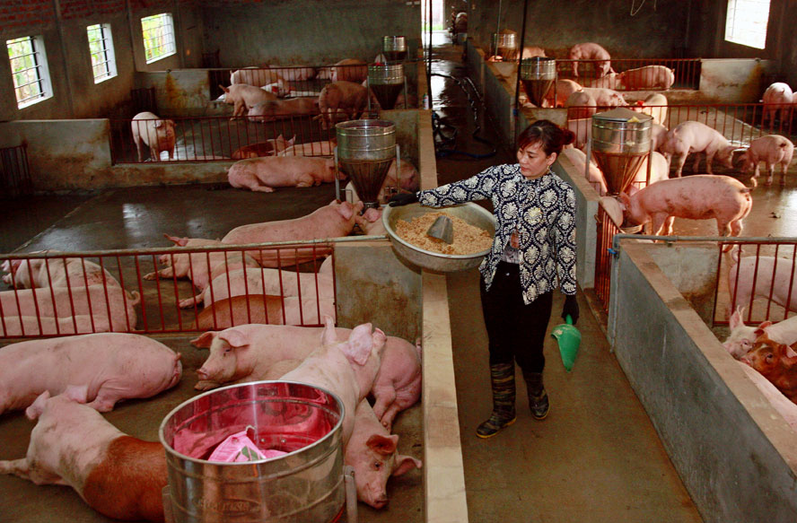 Trang trại chăn nuôi xa khu dân cư của HTX Chăn nuôi Ngũ Châu, xã Trung Châu (huyện Đan Phượng). Ảnh: Bá Hoạt