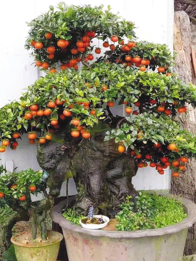 Cận cảnh một cây hồng đá sai trĩu quả có giá trên dưới 400 triệu đồng của ông Minh.