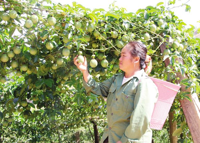 Nhiều mô hình kinh tế hiệu quả phát triển mạnh mẽ ở Phiêng Khoài.