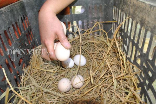 Theo chị Lan Anh, trứng gà Mông đen có phần lòng đỏ nhiều hơn các loại trứng khác, hương vị thơm ngon và rất tốt cho sức khỏe. Ảnh: Nguyễn Quỳnh