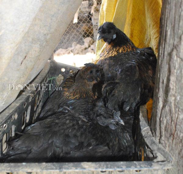 Với tiềm năng về du lịch của địa phương, chị Lan Anh hi vọng có thể góp sức xây dựng thương hiệu cho gà đen Bắc Hà. Ảnh: Nguyễn Quỳnh