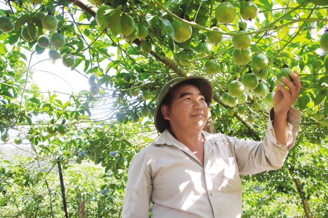 Người dân Phiêng Khoài chăm sóc cây chanh leo.