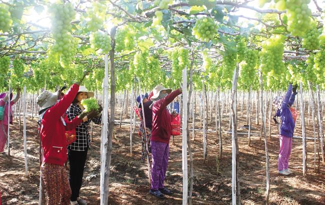 Nông dân Ninh Thuận thu hoạch nho.