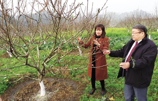 Trại của anh Thạch đang là nơi nghiên cứu, nhân và bảo tồn giống đào rừng quý ở vùng Tây, Đông Bắc.