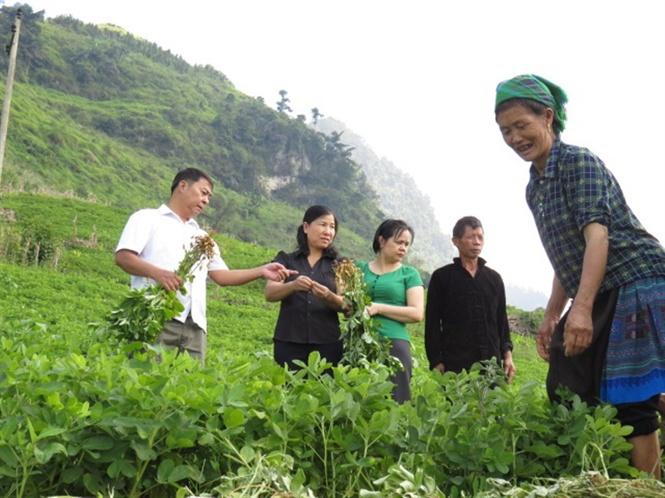 Tham quan mô hình trồng thâm canh cây lạc đỏ theo hướng VietGAP tại xã Hoàng Thu Phố, huyện Bắc Hà.